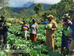 Bupati Dogiyai Panen Sayur Kol Bersama Petani Binaan